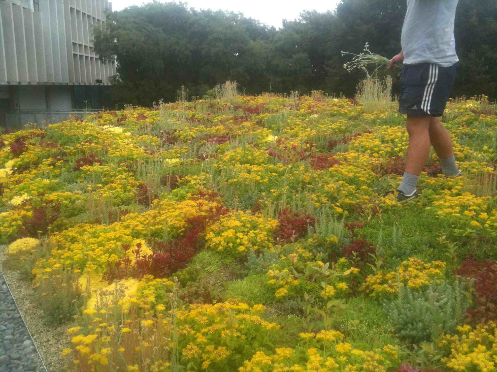 Green roof flowers