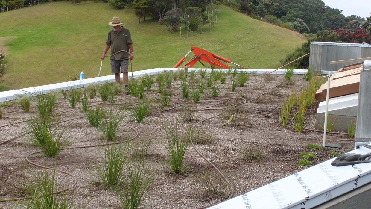 watering newly planted green roof
